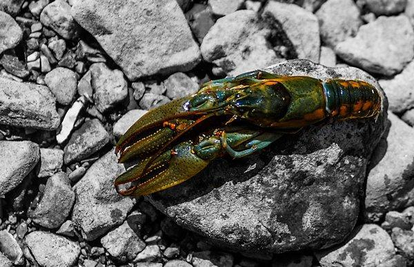 Understanding Crawfish Color Transitions for Bass Anglers