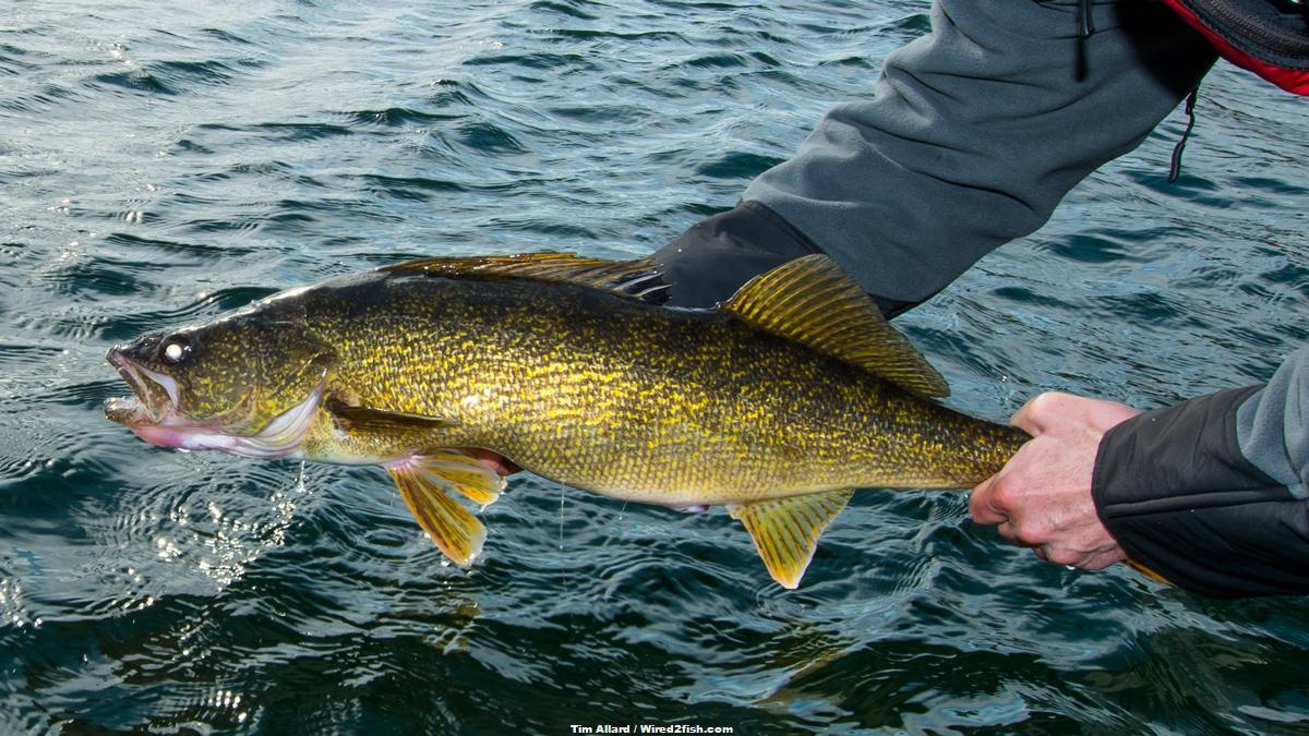 4 Tips for Fishing Ledge Walleyes