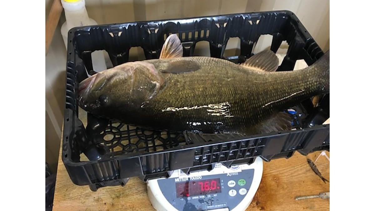 Smallmouth x Largemouth Hybrid Bass Certified as World Record by IGFA