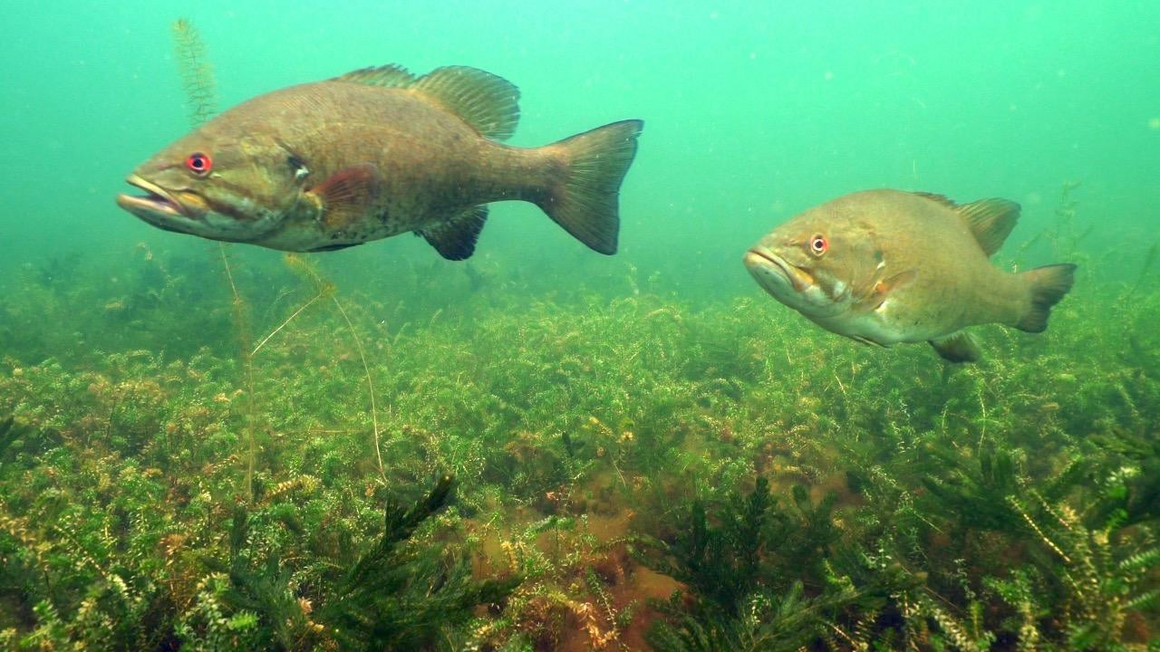 Tips for Drop Shotting Smallmouth Bass in Grass