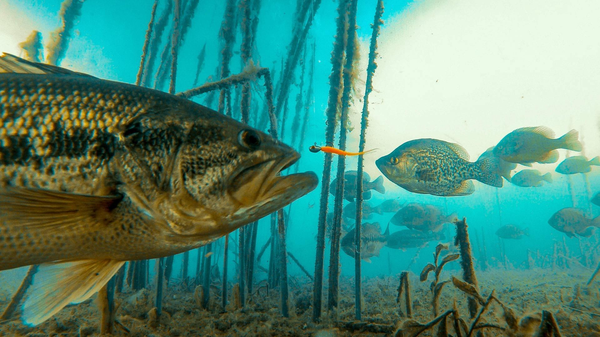 Incredible Underwater Video of Bass and Panfish