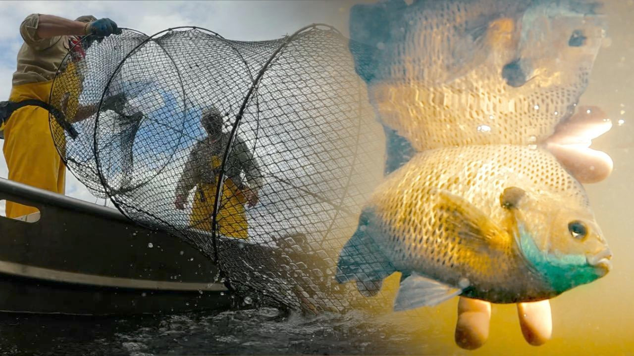 Why Are Bluegill Getting Smaller? A Science-Based Path to Better Fishing
